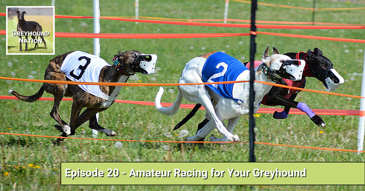 You are currently viewing Amateur Racing for Your Greyhound